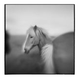 Icelandic Pony, Iceland Photographic Print by Paul Souders