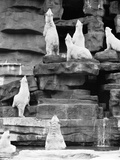 1960s Group of Polar Bears Standing on Rocks and Looking Upwards Photographic Print