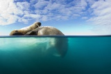 Walrus, Svalbard, Norway Photographic Print by Paul Souders