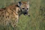 Spotted Hyena Feeding on Thomson's Gazelle Photographic Print by Paul Souders
