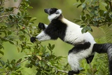 Black and White Ruffed Lemur, Madagascar Photographic Print by Paul Souders