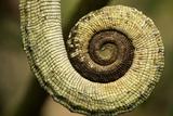 Parsons Chameleon Tail, Madagascar Photographie par Paul Souders