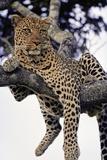 Leopard Lying in Tree Fotodruck von Paul Souders