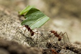 Leafcutter Ants, Costa Rica Photographic Print by Paul Souders