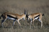 Thomson's Gazelles Sparring Photographic Print by Paul Souders