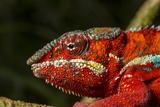 Panther Chameleon, Madagasdar Photographie par Paul Souders