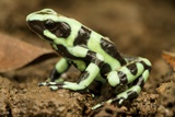 Poison Dart Frog, Costa Rica Photographic Print by Paul Souders