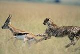 Cheetah Chasing Thomson's Gazelle Fotodruck von Paul Souders