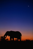 An African Elephant Feeding at Dusk Photographic Print by Paul Souders