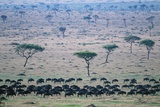 Wildebeest in Masai Mara National Reserve Photographic Print by Paul Souders