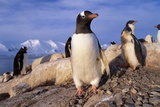 Gentoo Penguins Photographic Print by Paul Souders