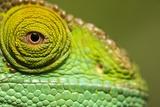 Parsons Chameleon, Madagascar Fotografisk tryk af Paul Souders