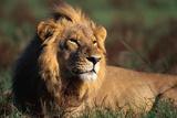 Male Lion Resting Fotodruck von Paul Souders