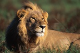 Male Lion Resting Photographic Print by Paul Souders