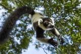 Black and White Ruffed Lemur, Madagascar Fotografie-Druck von Paul Souders