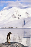 Gentoo Penguin Photographic Print by Paul Souders