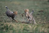 Cheetah Cubs Playing with Carcass Photographic Print by Paul Souders