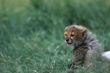 Cheetah Cub Lying in Grass Fotografisk trykk av Paul Souders
