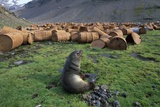 Fur Seal Resting Near Rusted Barrels Photographic Print by Paul Souders