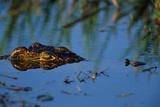 Nile Crocodile in the Khwai River Fotografisk tryk af Paul Souders