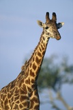 Giraffe at Sunset Photographic Print by Paul Souders