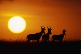 Topi Antelope Silhouettes at Sunrise Photographic Print by Paul Souders