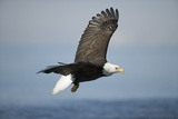 Bald Eagle in Flight Photographic Print by Paul Souders