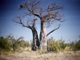 Baobab, Nxai Pan, Botswana Photographic Print by Paul Souders