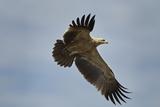 Tawny Eagle, Ngorongoro Conservation Area, Tanzania Photographic Print by Paul Souders
