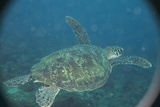Green Turtle in Indian Ocean Photographic Print by Paul Souders