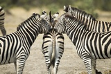Plains Zebra, Chobe National Park, Botswana Photographic Print by Paul Souders