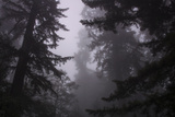 Misty and Moody Tree Design, Redwood National Park Photographic Print by Vincent James