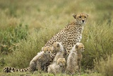 Cheetah and Cubs in the Rain Photographic Print by Paul Souders
