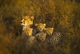Cheetah Cubs and their Mother Stampa fotografica di Paul Souders