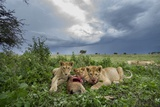 Lion Cubs on Ndutu Plains, Tanzania Photographic Print by Paul Souders