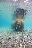 Underwater Walrus, Svalbard, Norway Photographic Print by Paul Souders