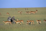 Herd of Impalas and Plains Zebras Photographic Print by Paul Souders