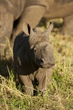 Baby Black Rhino, Sabi Sabi Reserve, South Africa Photographic Print by Paul Souders