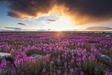 Fireweed, Hudson Bay, Canada Photographic Print by Paul Souders