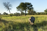 White Rhinoceros, Sabi Sabi Reserve, South Africa Photographic Print by Paul Souders