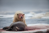 Polar Bear Feeding on Walrus, Hudson Bay, Nunavut, Canada Photographic Print by Paul Souders