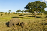 Black Rhino, Sabi Sabi Reserve, South Africa Fotografisk trykk av Paul Souders