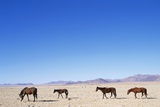 Pack of Wild Horses in Namib Desert Photographic Print by Paul Souders