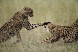 Cheetahs Playing on Savanna Photographic Print by Paul Souders