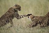 Cheetahs Playing on Savanna Photographic Print by Paul Souders