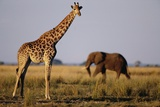 Giraffe and Elephant on the Savanna Photographic Print by Paul Souders