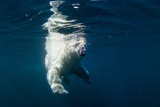 Underwater Polar Bear, Nunavut, Canada Photographic Print by Paul Souders