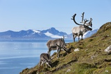 Reindeer, Svalbard, Norway Photographic Print by Paul Souders