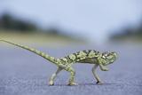 Flap-Necked Chameleon Runs across a Road Photographie par Paul Souders