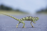 Flap-Necked Chameleon Runs across a Road Photographic Print by Paul Souders